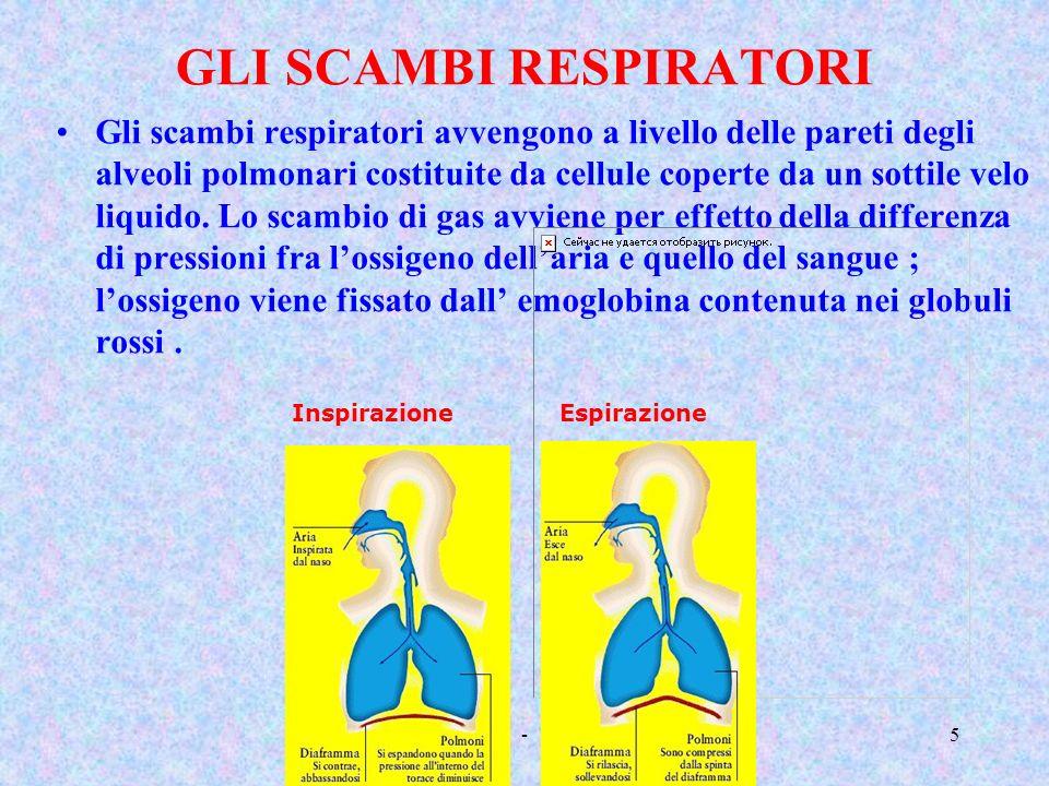 Classe 5 A - Sara Gotti4 I polmoni hanno una forma grossolanamente piramidale che si adatta alla forma del torace. Non sono perfettamente simmetrici :