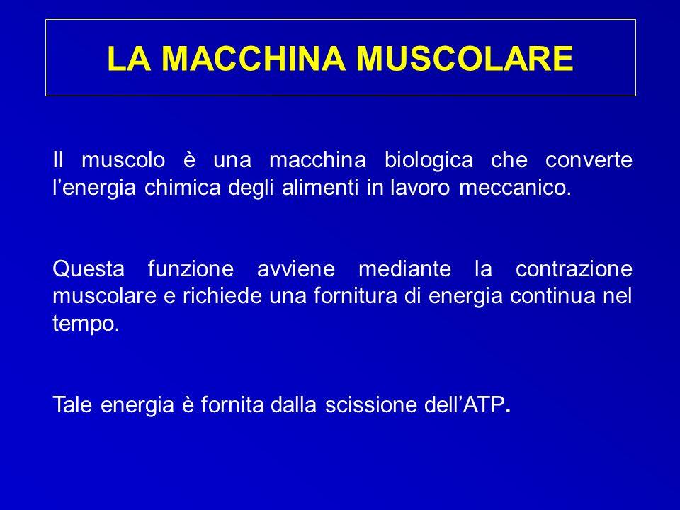 Il muscolo è una macchina biologica che converte lenergia chimica degli alimenti in lavoro meccanico. Questa funzione avviene mediante la contrazione