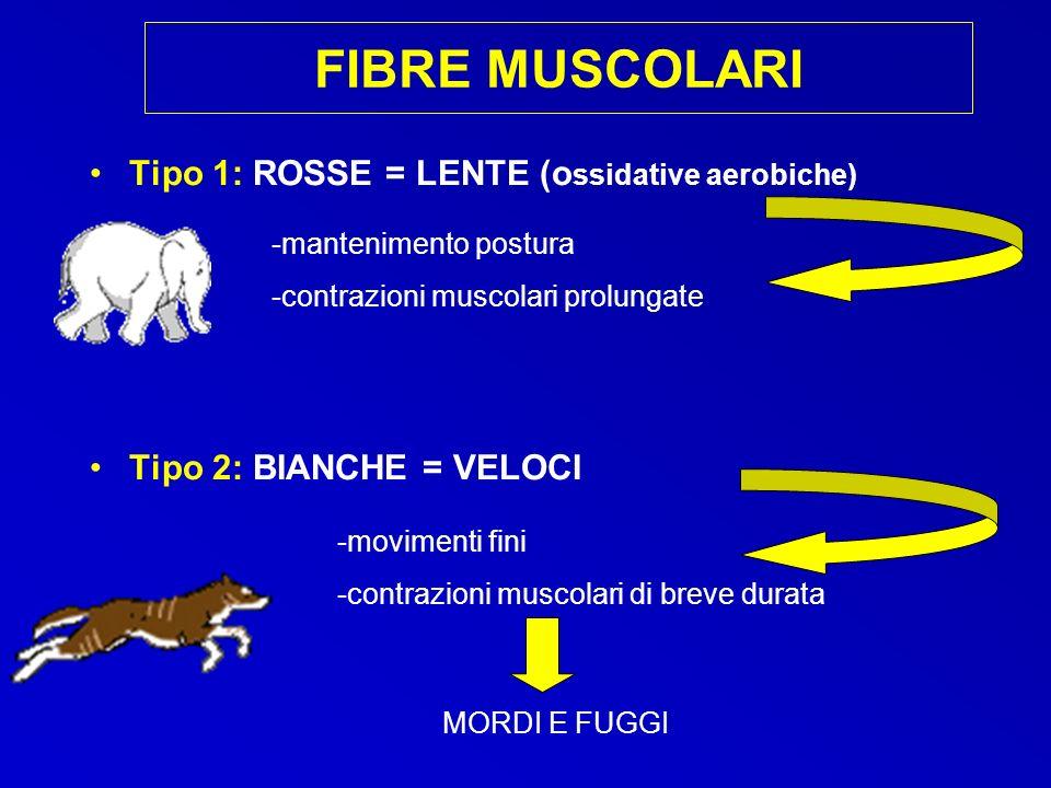 FIBRE MUSCOLARI Tipo 1: ROSSE = LENTE (o ssidative aerobiche) Tipo 2: BIANCHE = VELOCI -mantenimento postura -contrazioni muscolari prolungate -movime