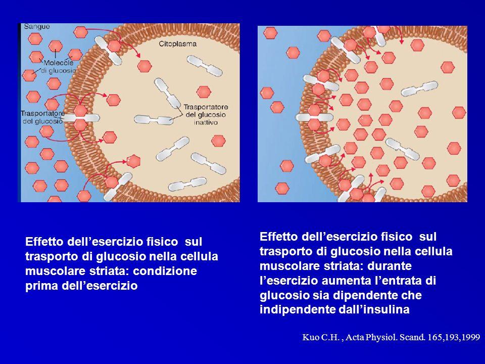 Effetto dellesercizio fisico sul trasporto di glucosio nella cellula muscolare striata: condizione prima dellesercizio Effetto dellesercizio fisico su