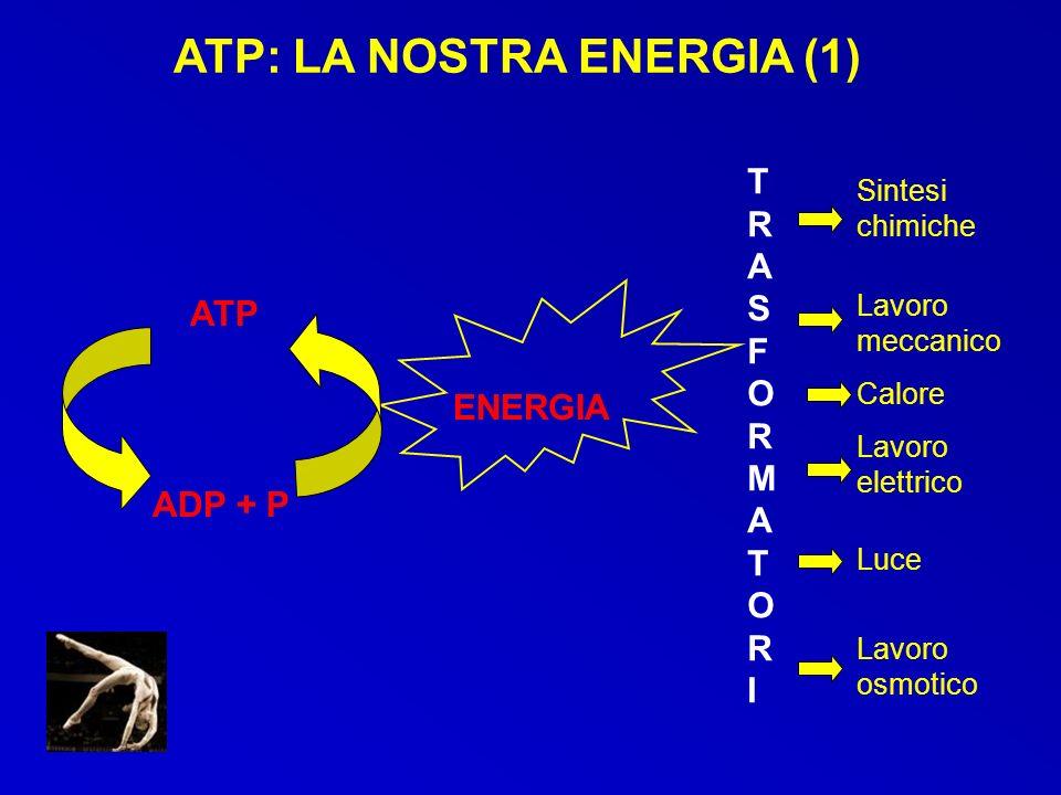 ATP: LA NOSTRA ENERGIA (2) Fonte di energia immediata per le attività cellulari Nel muscolo presenti modeste riserve che consentono solo poche contrazioni LATP non è trasferibile da cellula a cellula per cui è necessaria una continua resintesi a partire dallenergia degli alimenti.
