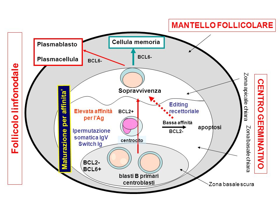 Follicolo linfonodale Zona basale scura Zona apicale chiara Zona basale chiara MANTELLO FOLLICOLARE blasti B primari centroblasti Ipermutazione somati