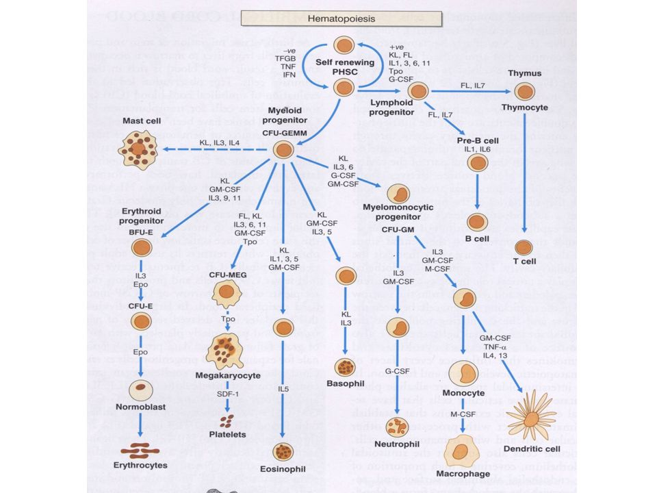 Angiocentric NHL Intestinal NHL Angiocentric NHL Intestinal NHL Cell origin of T-lymphoid neoplasia T-ALL BM T-precursor cell THYMUS Peripheral blood ALCL PTCL ALCL PTCL Mycosis fungoides Sezarys syndrome Mycosis fungoides Sezarys syndrome skin T-cell CLL/PLL CD4+ lymphocytes CD8+ lymphocytes LGL expansion Mucosae Bowel Germinal centre Hepato-splenic γδ NHL Hepato-splenic γδ NHL Lymph node Spleen liver