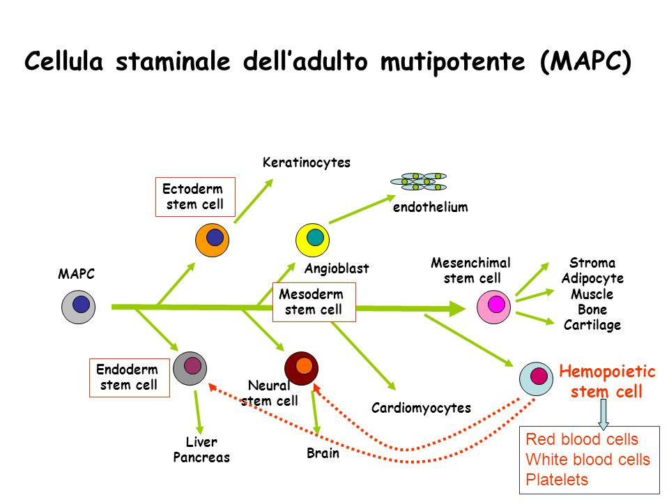 Cellula staminale delladulto mutipotente (MAPC) MAPC Ectoderm stem cell Endoderm stem cell Mesenchimal stem cell Neural stem cell Keratinocytes Angiob