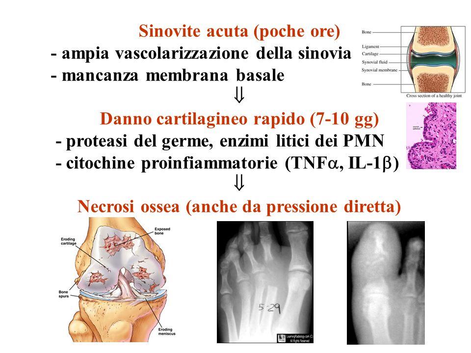 Sinovite acuta (poche ore) - ampia vascolarizzazione della sinovia - mancanza membrana basale Danno cartilagineo rapido (7-10 gg) - proteasi del germe