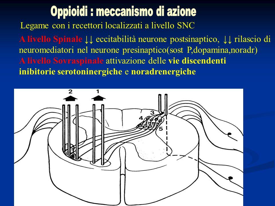 Legame con i recettori localizzati a livello SNC A livello Spinale eccitabilità neurone postsinaptico, rilascio di neuromediatori nel neurone presinap