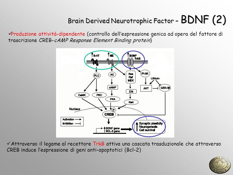 Brain Derived Neurotrophic Factor – BDNF (2) Attraverso il legame al recettore TrkB attiva una cascata trasduzionale che attraverso CREB induce lespre