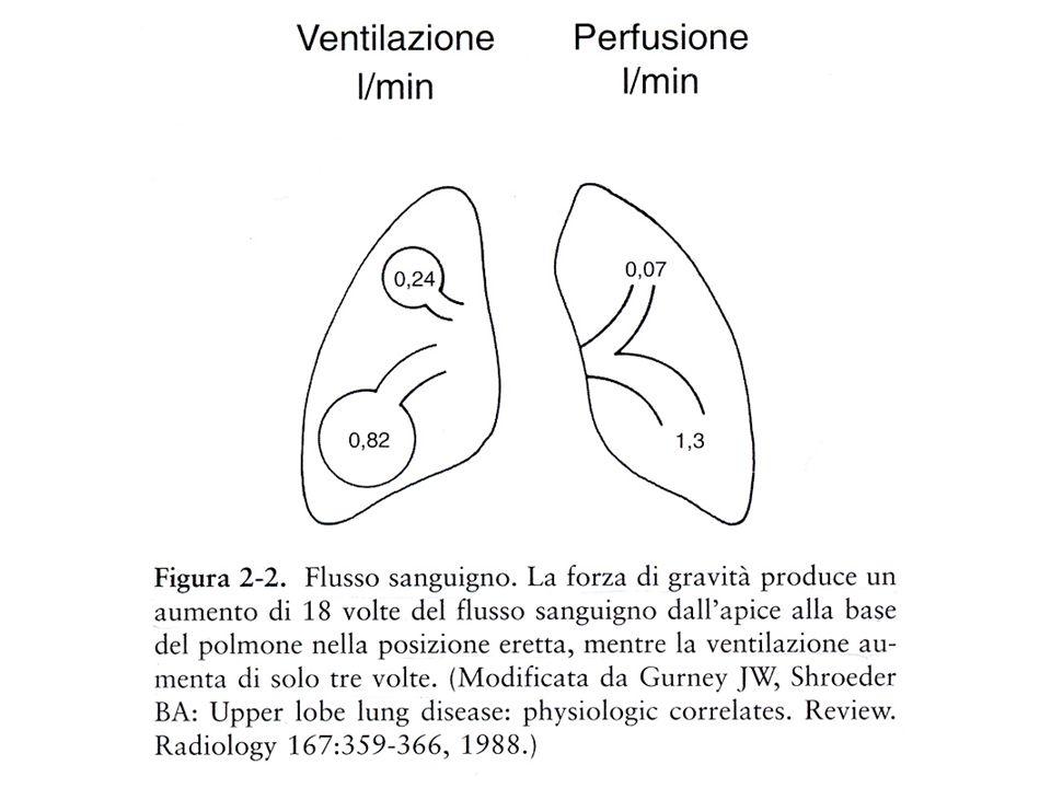 Il polmone è sorretto dalla gabbia toracica e dal diaframma, essendo collegato a queste strutture tramite lo spazio pleurico.