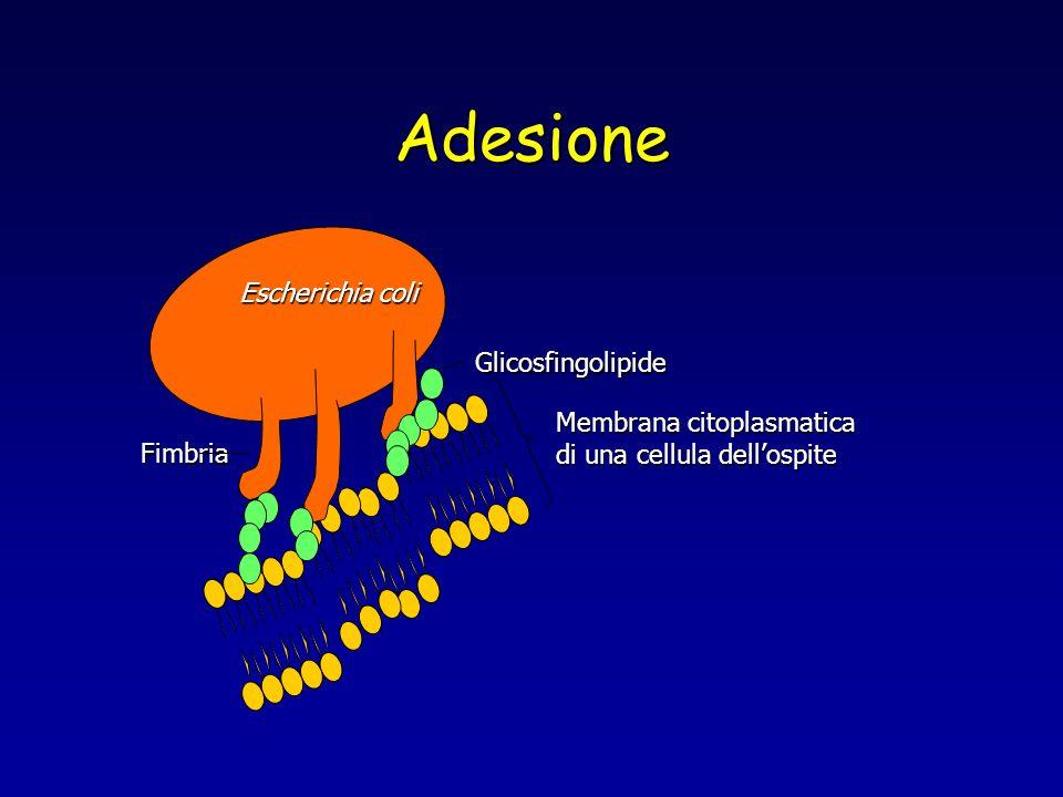 Adesione Membrana citoplasmatica di una cellula dellospite Escherichia coli Fimbria Glicosfingolipide