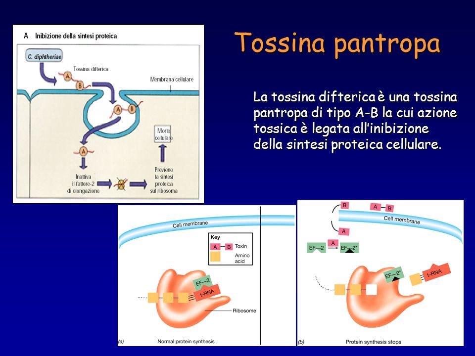 Tossina pantropa La tossina difterica è una tossina pantropa di tipo A-B la cui azione tossica è legata allinibizione della sintesi proteica cellulare