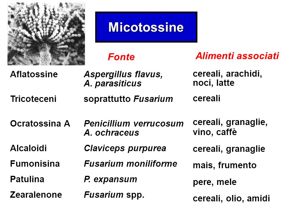 Micotossine Aflatossine Tricoteceni Ocratossina A Alcaloidi Fumonisina Patulina Zearalenone Aspergillus flavus, A.