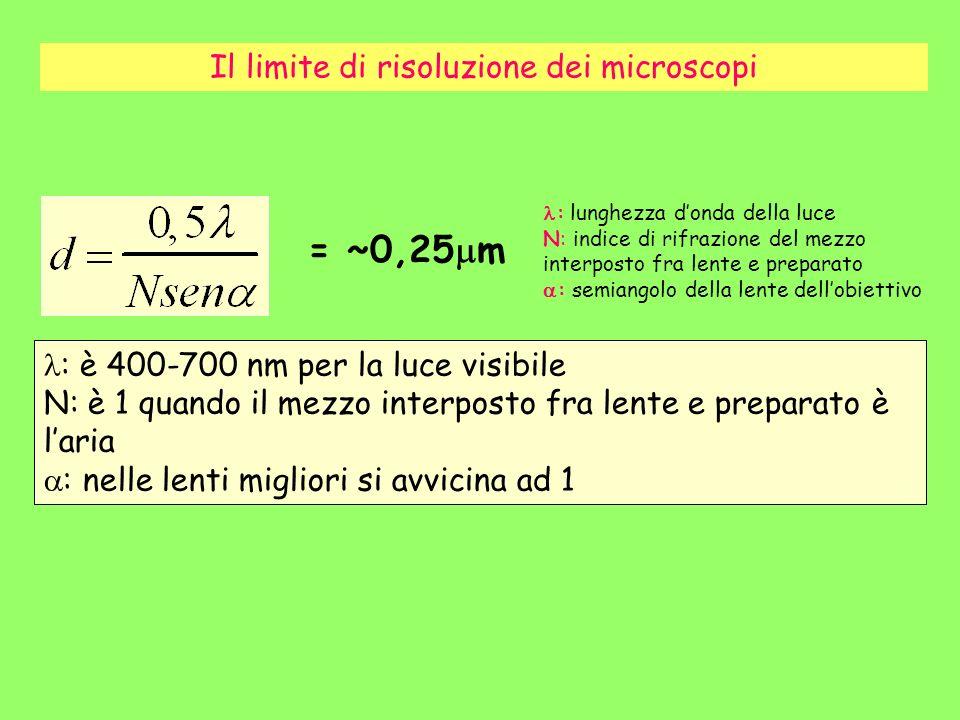 Il limite di risoluzione dei microscopi : è 400-700 nm per la luce visibile N: è 1 quando il mezzo interposto fra lente e preparato è laria : nelle le