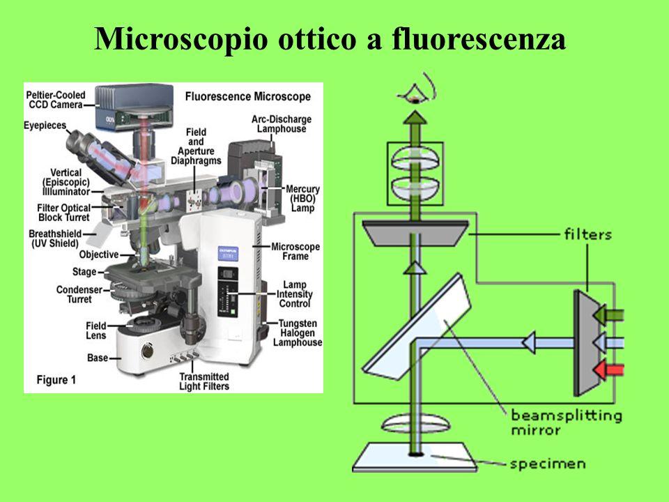 Microscopio ottico a fluorescenza
