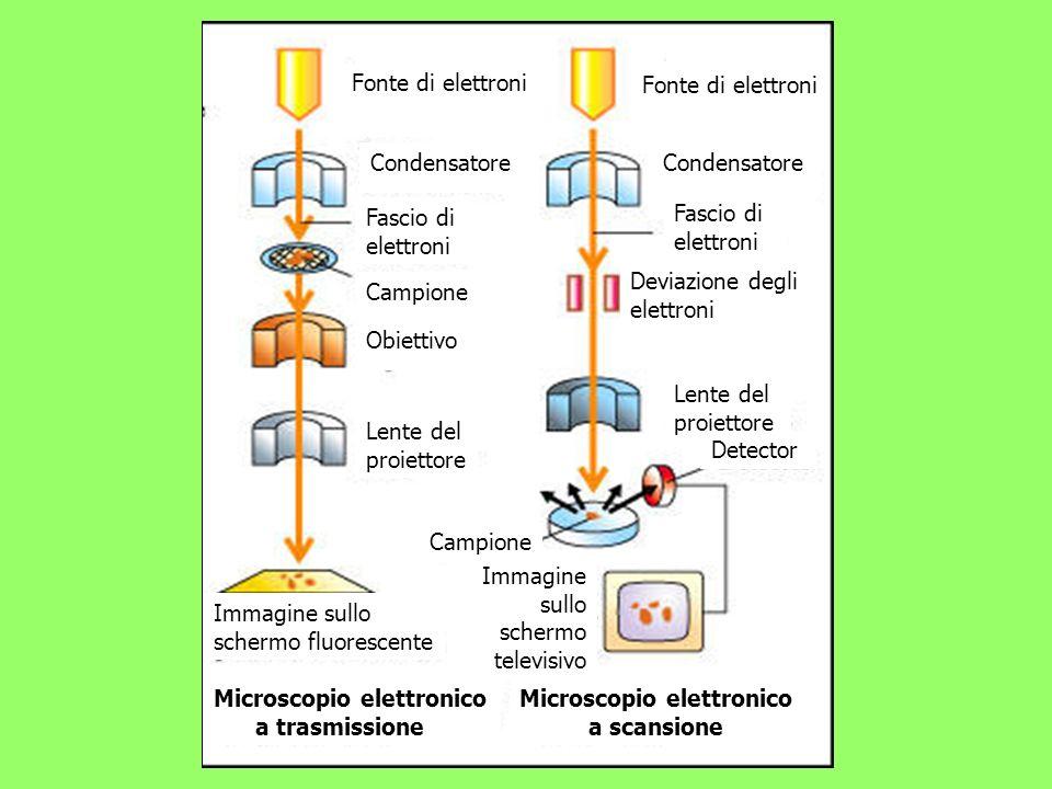 Fonte di elettroni Condensatore Fonte di elettroni Campione Obiettivo Lente del proiettore Lente del proiettore Fascio di elettroni Fascio di elettron