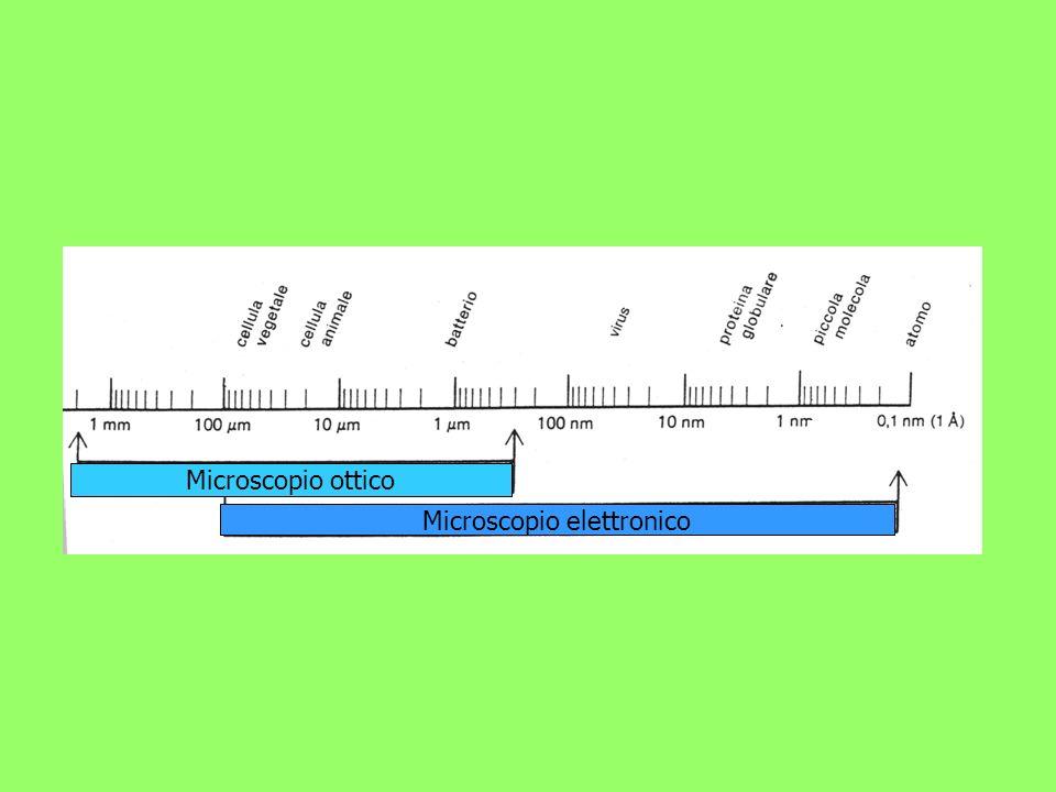 I microscopi ottici microscopi semplici: un solo sistema di lenti (lenti di ingrandimento, i primi microscopi…); microscopi composti: due sistemi di lenti (i microscopi moderni con obiettivi e oculari)