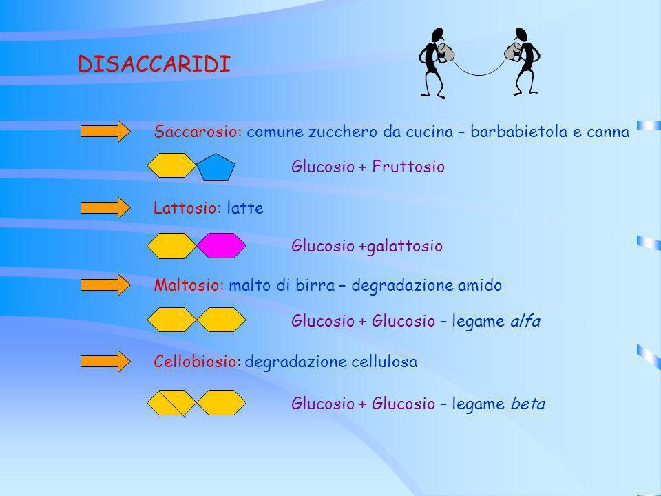 DISACCARIDI Saccarosio: comune zucchero da cucina – barbabietola e canna Glucosio + Fruttosio Lattosio: latte Glucosio +galattosio Maltosio: malto di