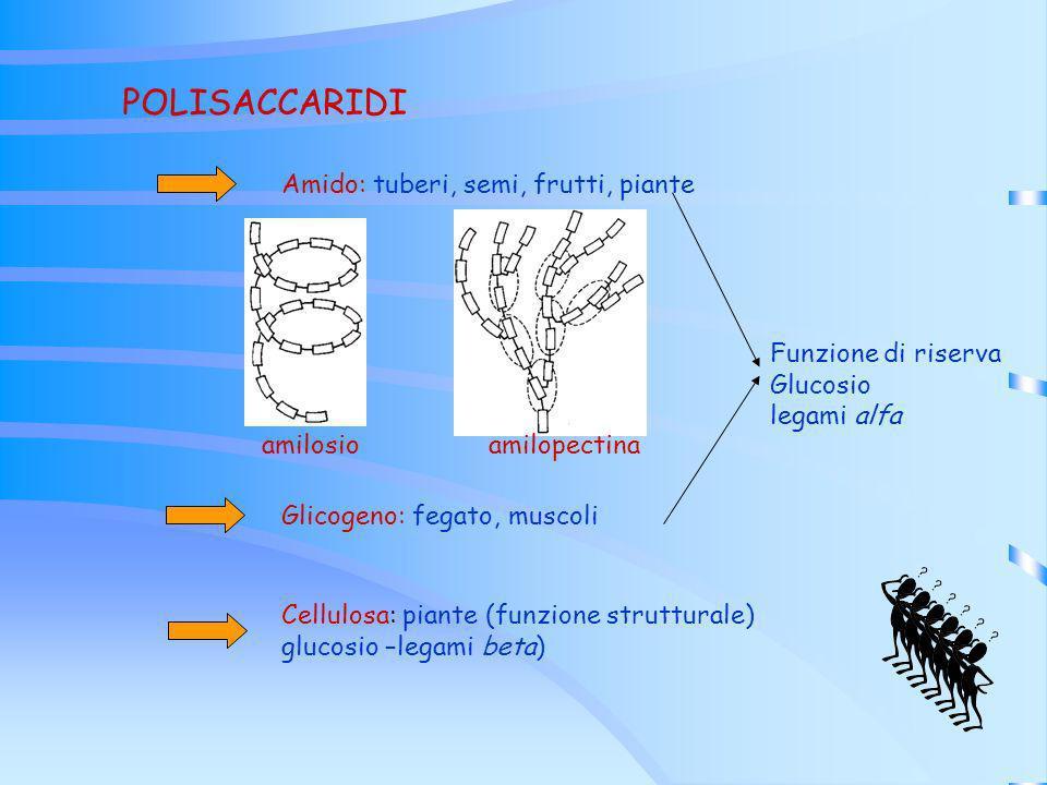 POLISACCARIDI Amido: tuberi, semi, frutti, piante Glicogeno: fegato, muscoli Cellulosa: piante (funzione strutturale) glucosio –legami beta) Funzione