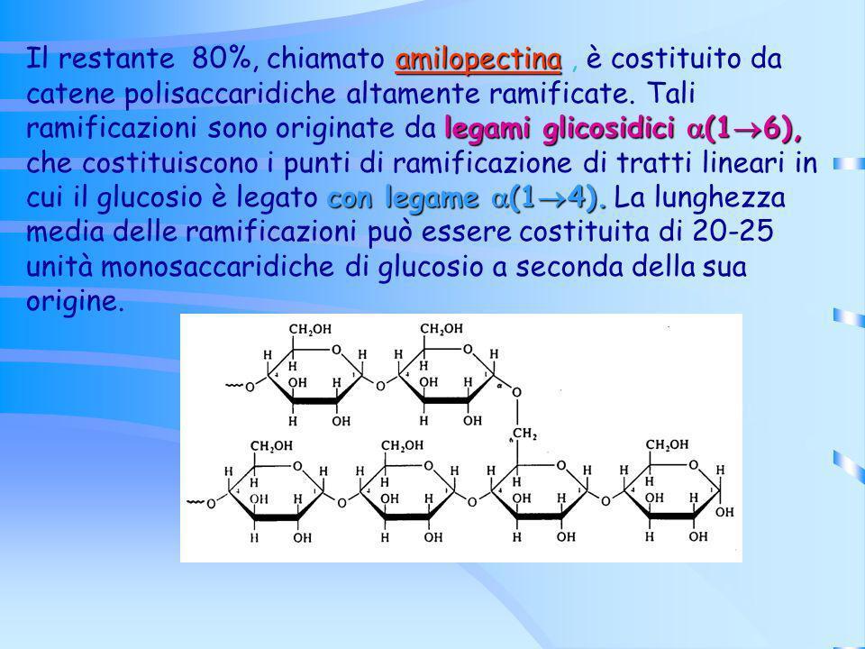amilopectina legami glicosidici (1 6), con legame (1 4). Il restante 80%, chiamato amilopectina, è costituito da catene polisaccaridiche altamente ram