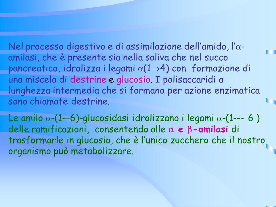 Nel processo digestivo e di assimilazione dellamido, l - amilasi, che è presente sia nella saliva che nel succo pancreatico, idrolizza i legami (1 4)