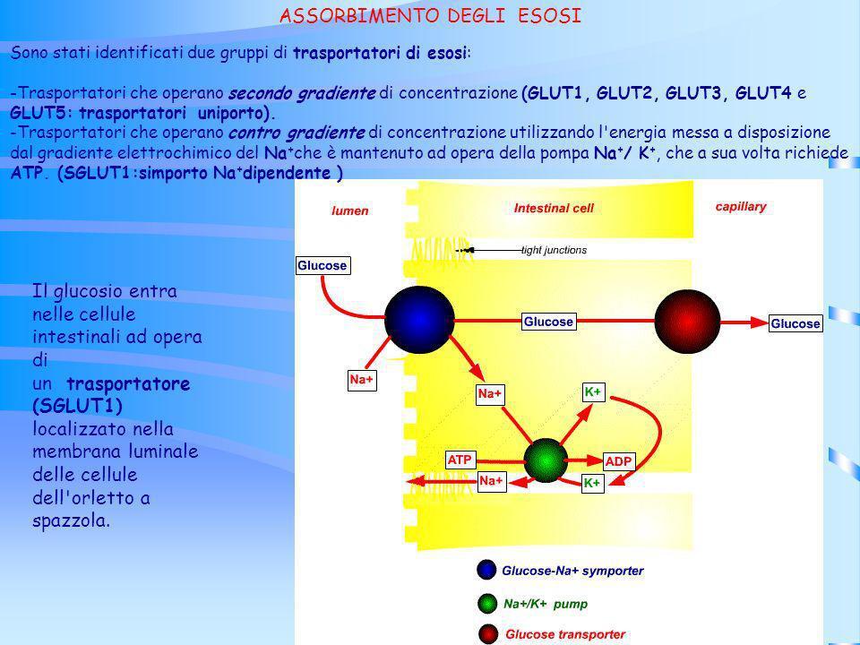 Il glucosio entra nelle cellule intestinali ad opera di un trasportatore (SGLUT1) localizzato nella membrana luminale delle cellule dell'orletto a spa