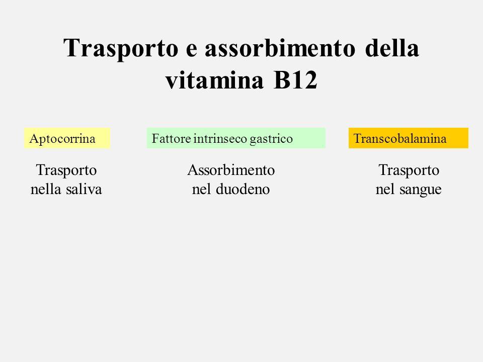 Trasporto e assorbimento della vitamina B12 Aptocorrina Trasporto nella saliva Fattore intrinseco gastrico Assorbimento nel duodeno Transcobalamina Tr