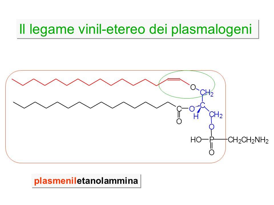 Il legame vinil-etereo dei plasmalogeni plasmeniletanolammina CH 2 CH 2 NH 2 HO O P C CH 2 CH 2 H OC O O O