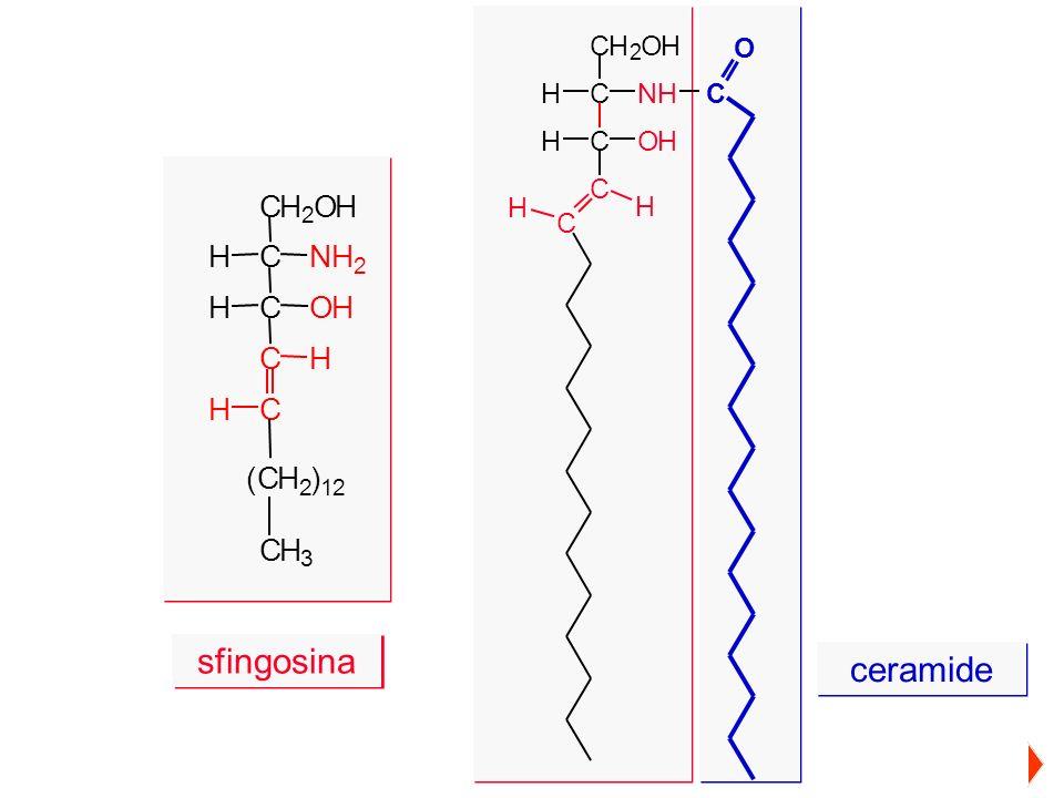 CH 2 OH CNHH COHH C C H H C O CH 2 OH CNH 2 H COHH C C H H (CH 2 ) 12 CH 3 sfingosina ceramide