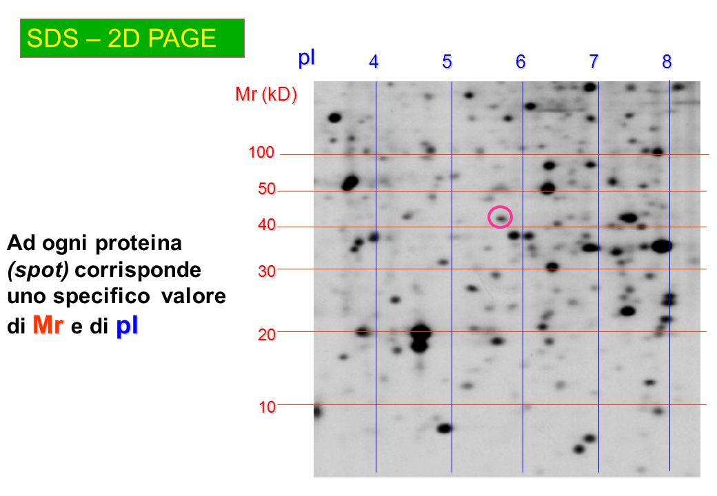 SDS – 2D PAGE Mr (kD) 10 20 30 40 45678pI50 100 Mr pI Ad ogni proteina (spot) corrisponde uno specifico valore di Mr e di pI