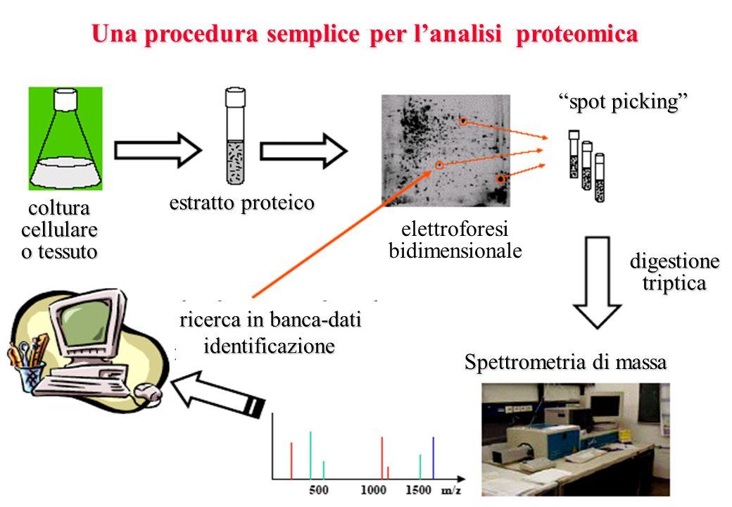 Una procedura semplice per lanalisi proteomica colturacellulare o tessuto estratto proteico elettroforesi bidimensionale spot picking digestionetripti