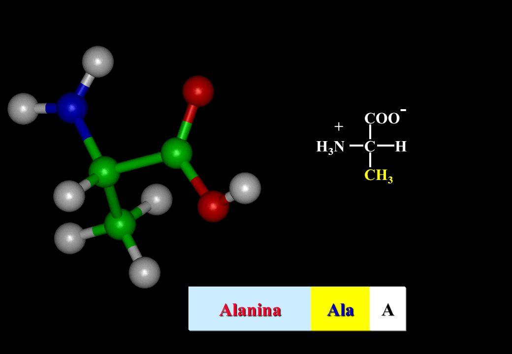 CH 3 COO - CHH3NH3N + AlaninaAlaA