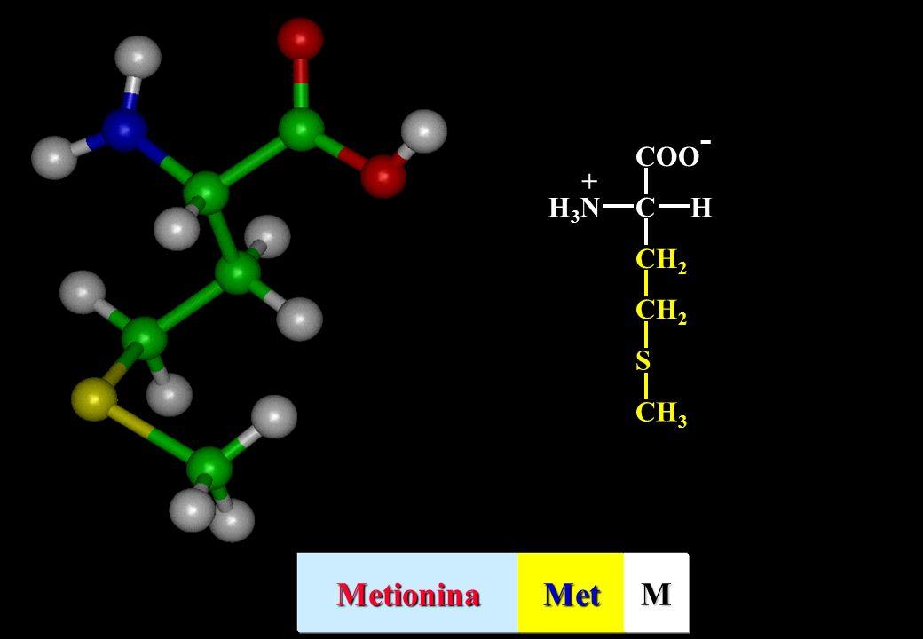 CH 2 S CH 3 CH 2 COO - CHH3NH3N + MetioninaMetM