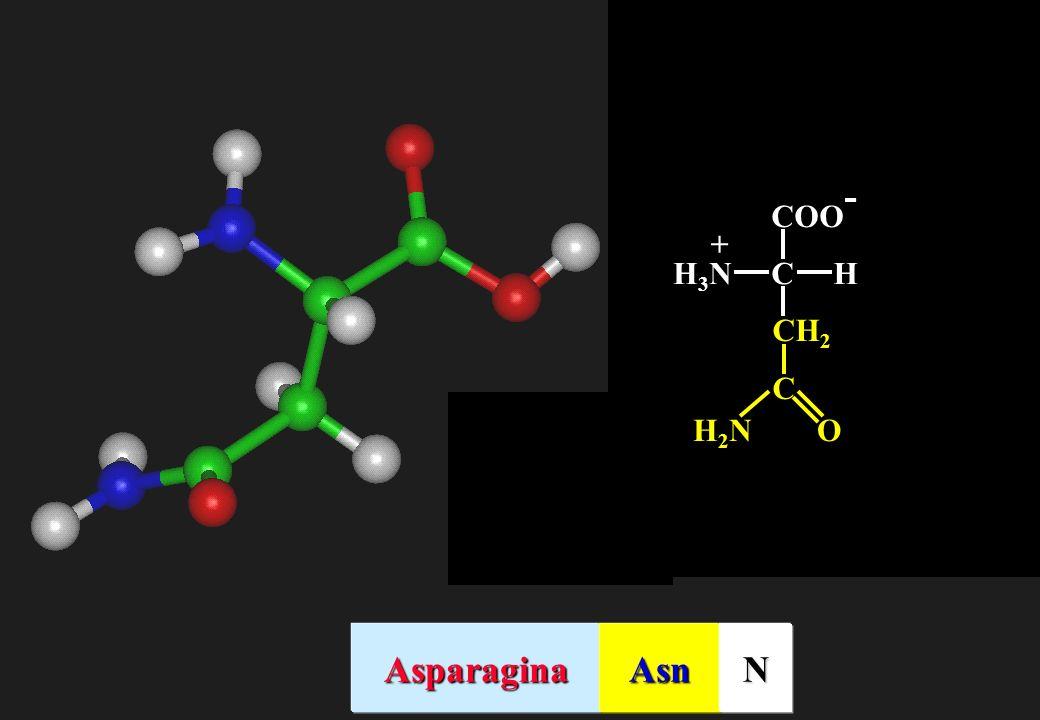 CHH3NH3N + C CH 2 OH2NH2N AsparaginaAsnN