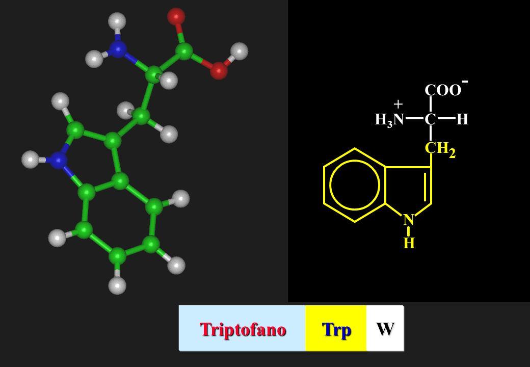 COO - CHH3NH3N + N H CH 2 TriptofanoTrpW