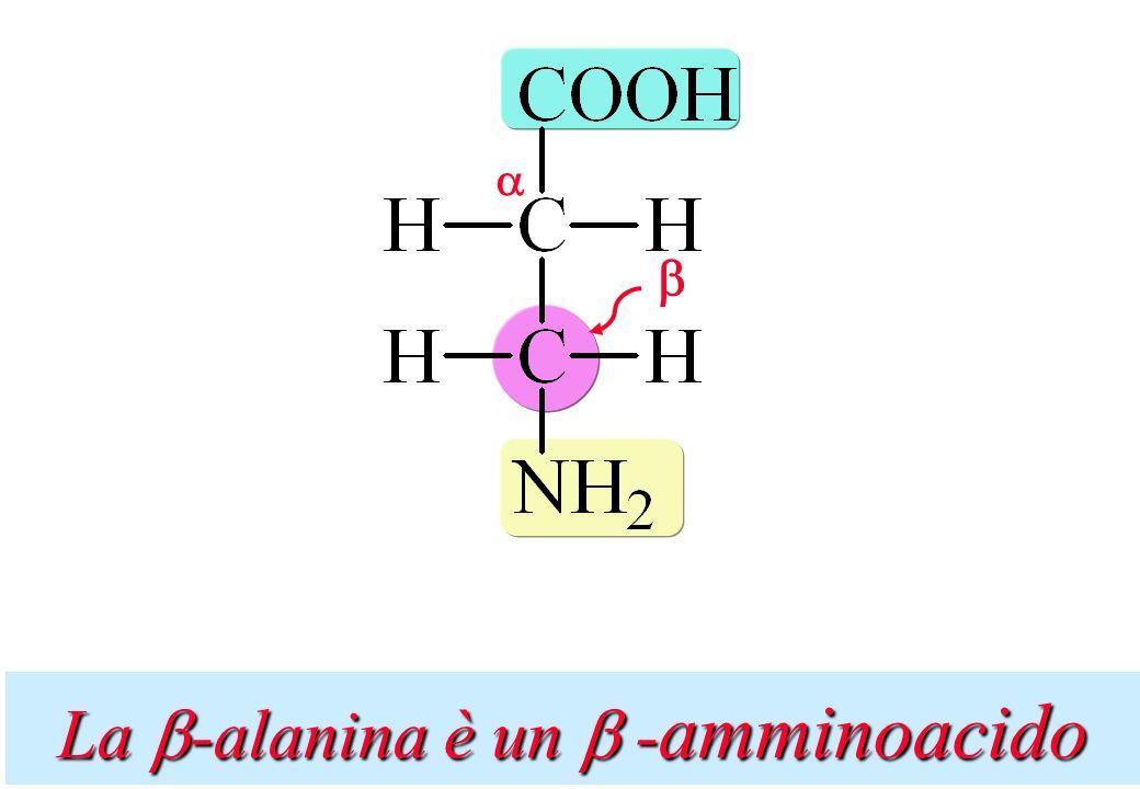 La -alanina è un -amminoacido
