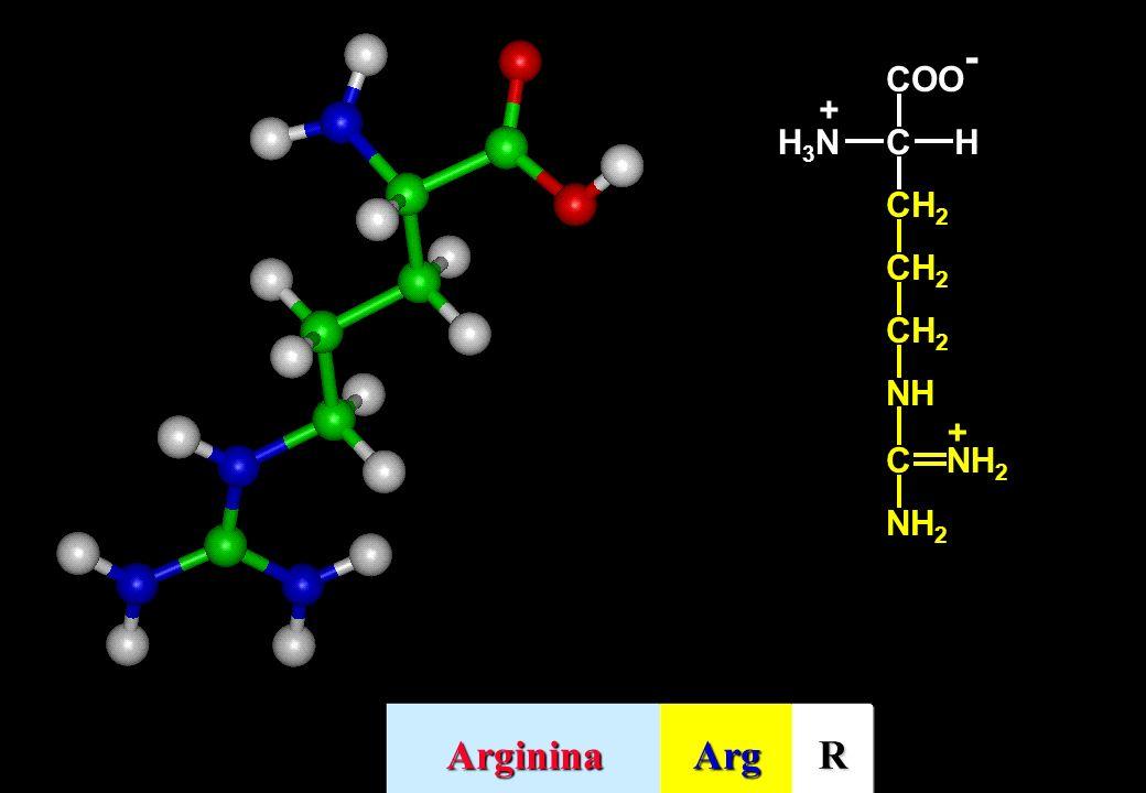 NH C NH 2 + COO - CHH3NH3N + ArgininaArgR