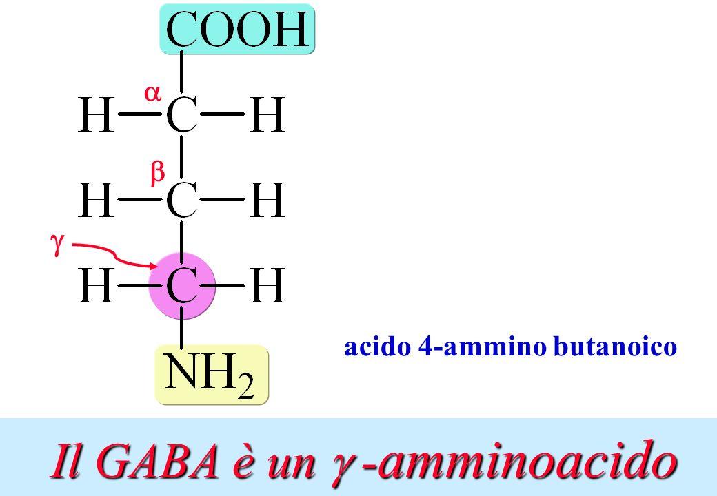 acido 4-ammino butanoico Il GABA è un -amminoacido