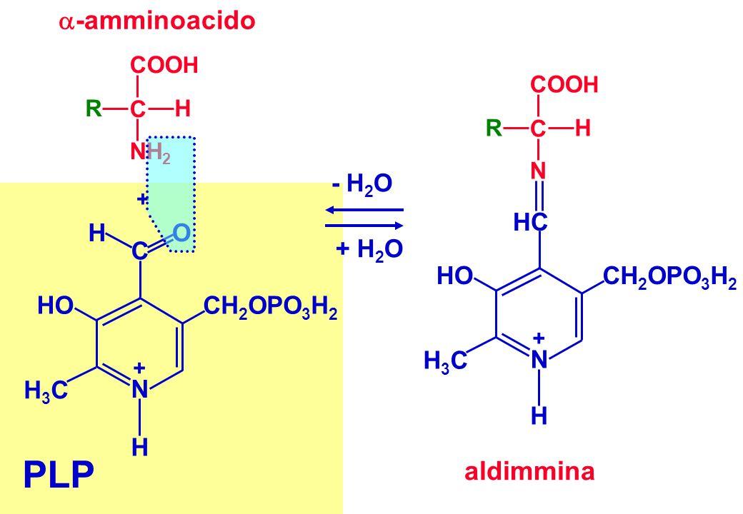 + PLP C OH H + N CH 2 OPO 3 H 2 HO H3CH3C COO H C HR NH 2 -amminoacido aldimmina HC COO H C HR N + N CH 2 OPO 3 H 2 HO H3CH3C H - H 2 O + H 2 O