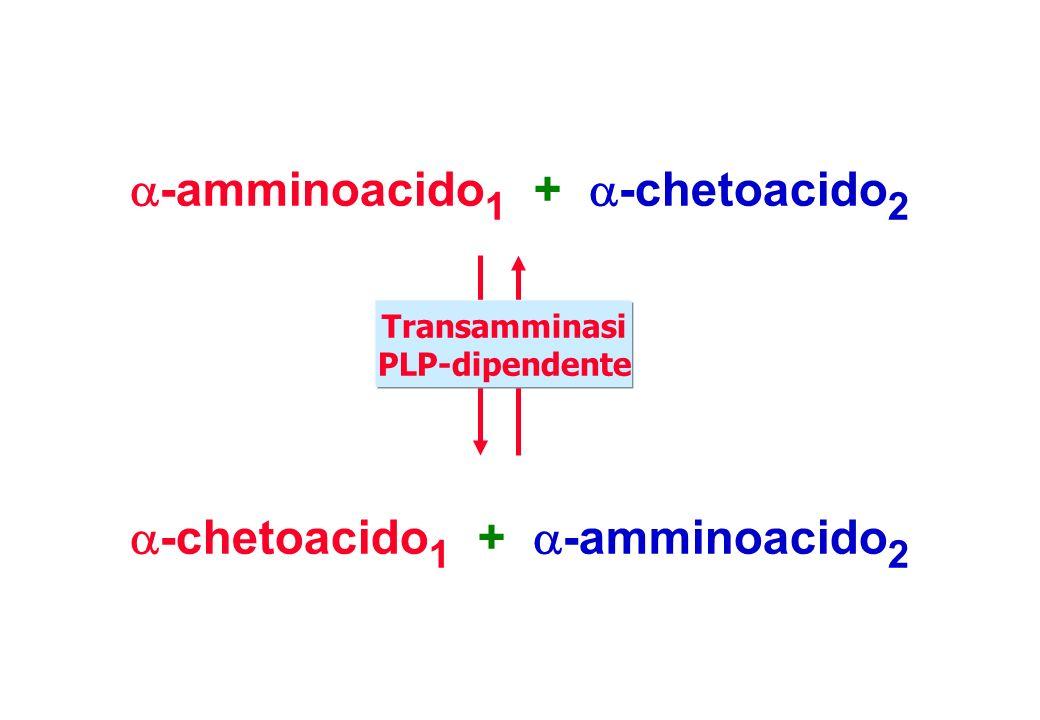-amminoacido 1 + -chetoacido 2 -chetoacido 1 + -amminoacido 2 Transamminasi PLP-dipendente