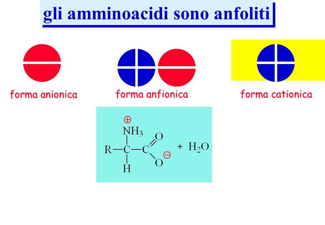 gli amminoacidi sono anfoliti forma anionica forma anfionica forma cationica