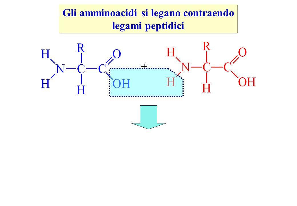 Gli amminoacidi si legano contraendo legami peptidici