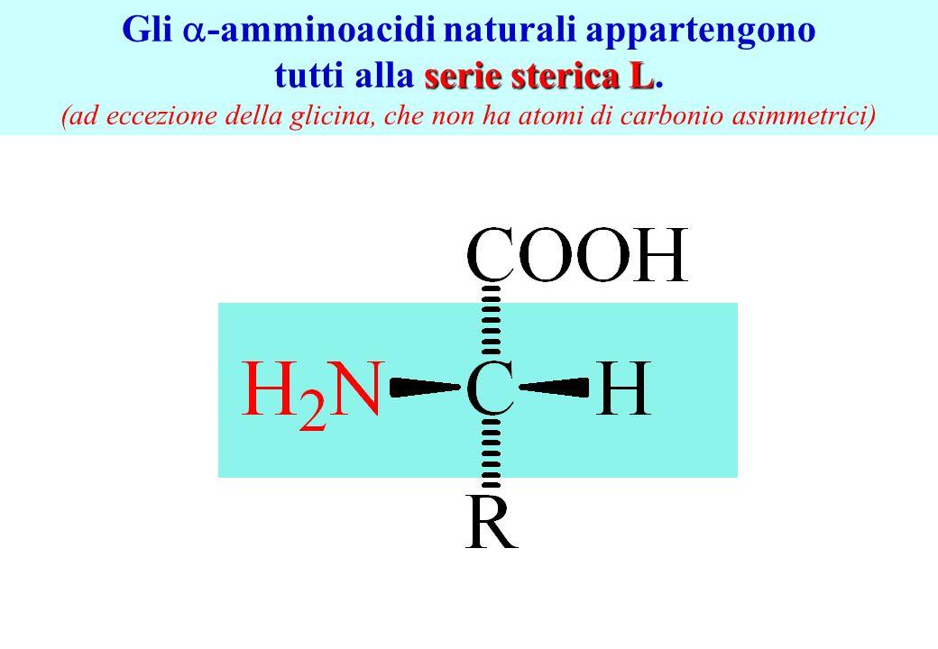 Gli -amminoacidi naturali appartengono serie sterica L tutti alla serie sterica L. (ad eccezione della glicina, che non ha atomi di carbonio asimmetri