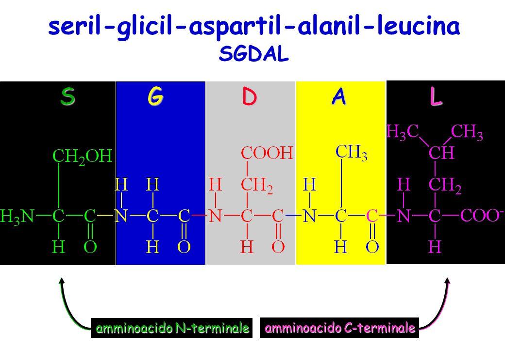 seril-glicil-aspartil-alanil-leucina S GDA L amminoacido N-terminale amminoacido C-terminale SGDAL