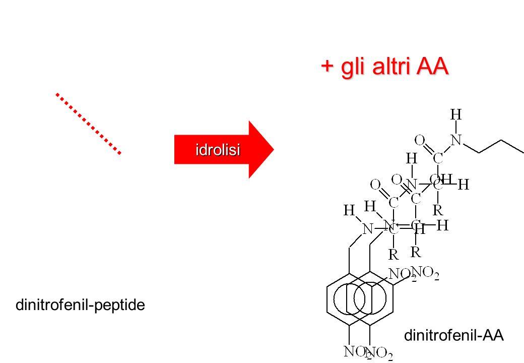 idrolisi dinitrofenil-peptide dinitrofenil-AA + gli altri AA