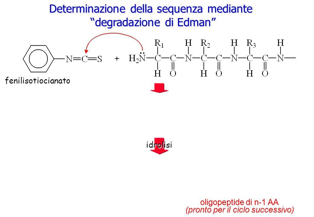 Determinazione della sequenza mediante degradazione di Edman idrolisi oligopeptide di n-1 AA (pronto per il ciclo successivo) fenilisotiocianato