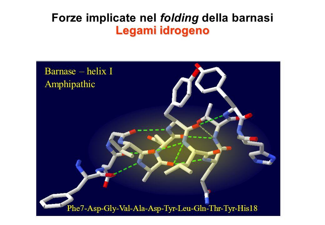Legami idrogeno Forze implicate nel folding della barnasi Legami idrogeno Barnase – helix I Phe7-Asp-Gly-Val-Ala-Asp-Tyr-Leu-Gln-Thr-Tyr-His18 Amphipa