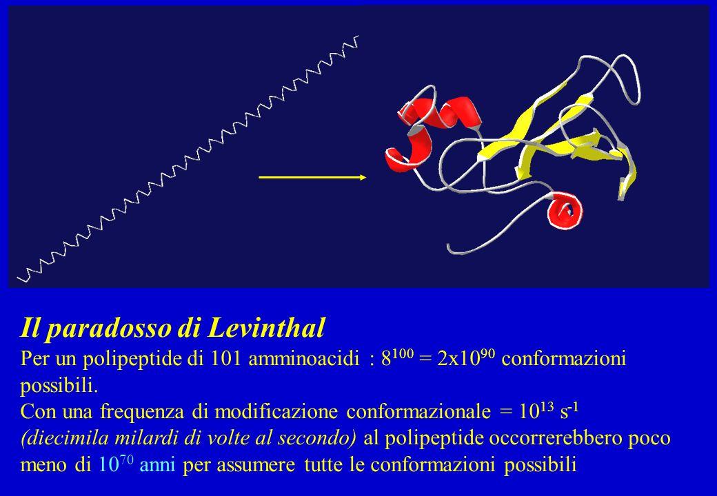 Il paradosso di Levinthal Per un polipeptide di 101 amminoacidi : 8 100 = 2x10 90 conformazioni possibili. Con una frequenza di modificazione conforma