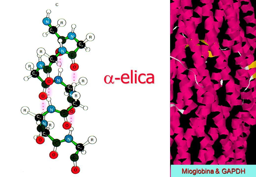 - elica - elica Mioglobina & GAPDH Mioglobina & GAPDH
