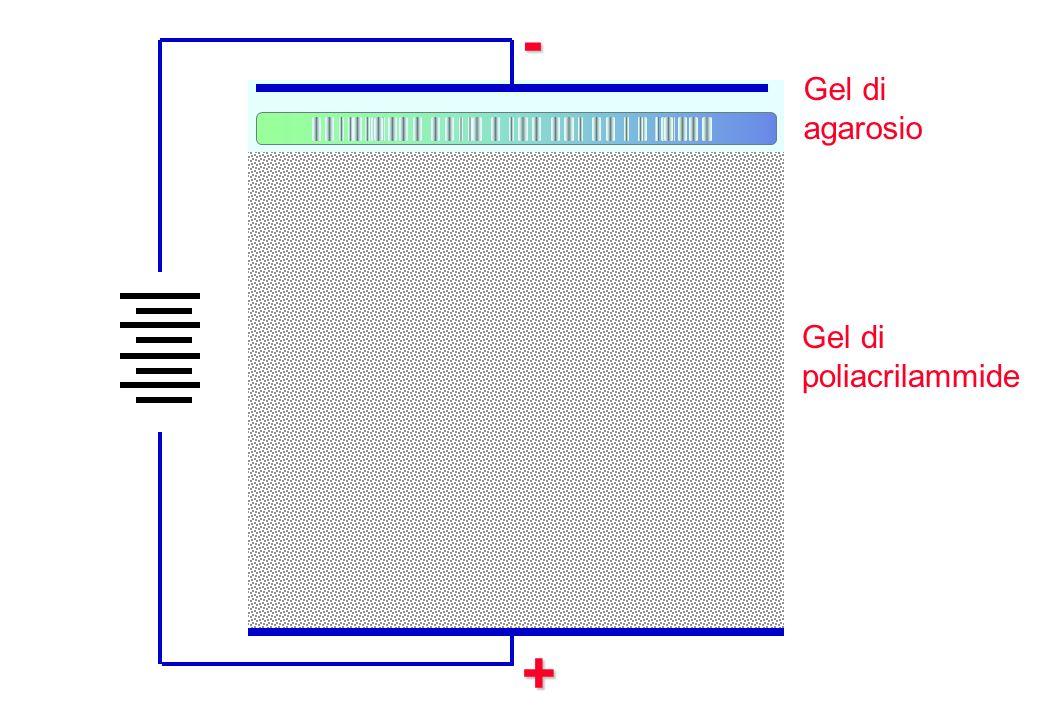 +- Gel di poliacrilammide Gel di agarosio