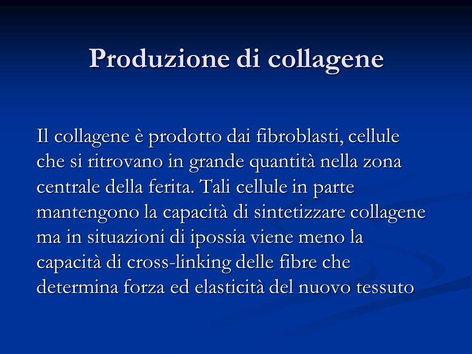 Produzione di collagene Il collagene è prodotto dai fibroblasti, cellule che si ritrovano in grande quantità nella zona centrale della ferita. Tali ce
