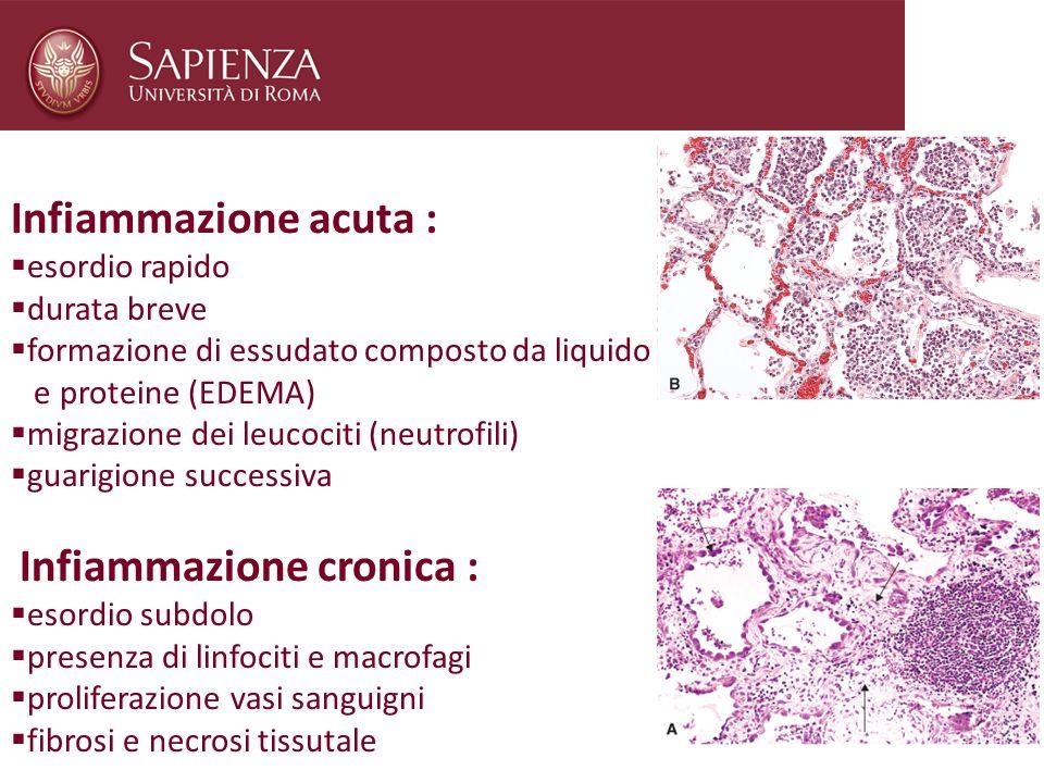 Infiammazione acuta : esordio rapido durata breve formazione di essudato composto da liquido e proteine (EDEMA) migrazione dei leucociti (neutrofili)